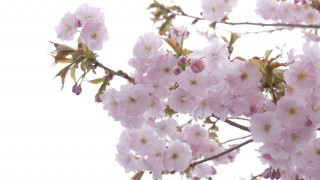 桜のピークを過ぎて